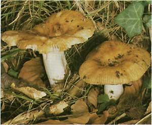 грибы в жизни человека: примеры грибов, молочный гриб куплю.