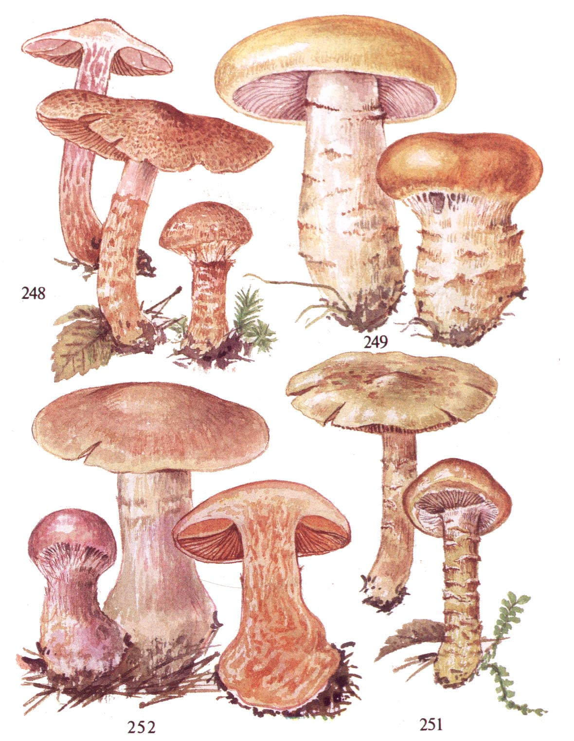 грибы паутинники желтые съедобные фото